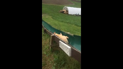 Dog Hilariously Follows Owner Down Slide