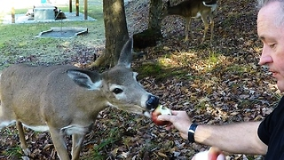 Trusting deer eats an apple from human hands - Video