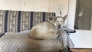 Husky humorously sings along with squeaky toy - Video