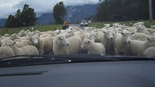The Running Of The Sheep!