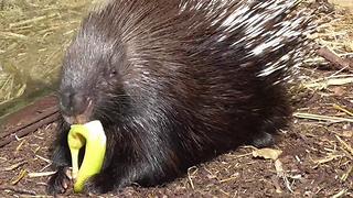 Prickly business: Meerkat steals food from porcupine - Video
