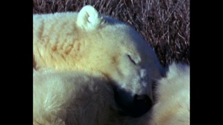 Polar Bear Power Nap - Video