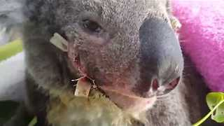 Little Koala Stitched up After Being Hit by Car - Video