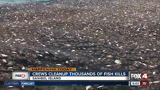 Crews cleanup thousands of fish kills on Sanibel Island - Video
