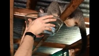 Canberra Man Helps Thirsty Possum During Intense Australian Heatwave - Video
