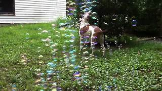Super Excited Dogs And Pretty Bubbles - Video