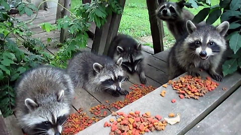 Nursery of raccoons enjoy epic gourmet feast
