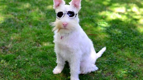 Sunlight could kill abandoned albino pooch – But his sunglasses have made him a social media star