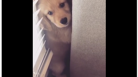 A Labrador Puppy Hides From The Vacuum Cleaner