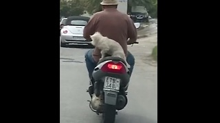 Dog casually rides on the back of a scooter