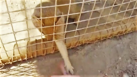Rescued Yellow Mongoose plays like a house cat