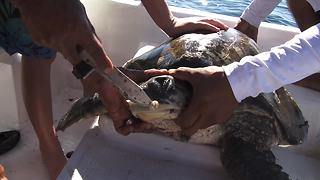 Kid Rescues And Saves Injured Sea Turtle - Video