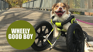 Disabled Dog Is Living Life To The Fullest With New Wheelchair