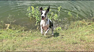 Splashing And Dashing Great Dane Loves To Run Zoomies