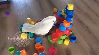 Cockatoo Destroys Castle Made of Plastic Cups - Video