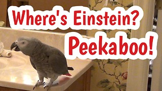 Einstein the Parrot plays peekaboo with himself - Video