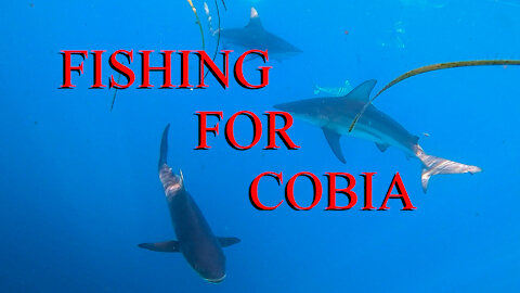 Catching Cobia in a school of sharks - Ep 20