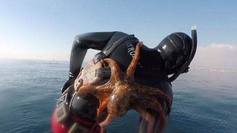 Octopus Holds On To Diver's Back Even After He Jumps Out Of Sea
