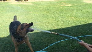 Cute toddler and dog play with water hose - Video