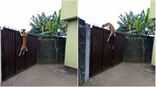 Dog jumps over 2-meter gate to follow owner