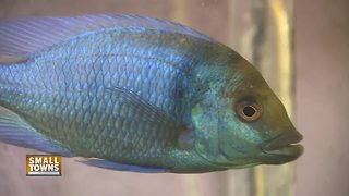 Small Towns: Exotic fish breeders bring rare fish to Wisconsin - Video