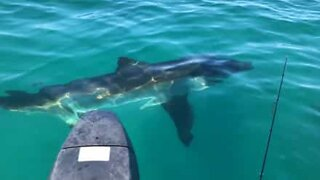 Great white shark approaches small fishing boat in Australia
