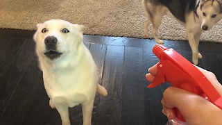Confused dog comically howls at spray bottle