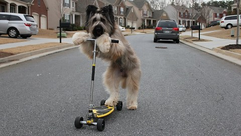 Pooch Rides The Scooter Like A Pro, Possibly Breaks World Record