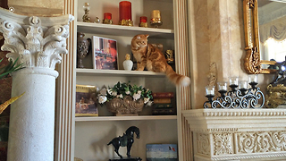 Funny Cat carefully walks around breakables on bookcase - Video