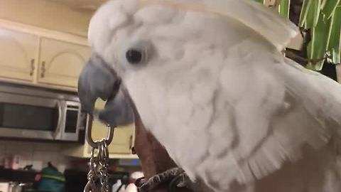 Festive cockatoo sings & dances to Christmas music