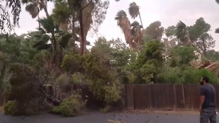 Large Tree Falls During Monsoon Storm in Phoenix, Arizona - Video