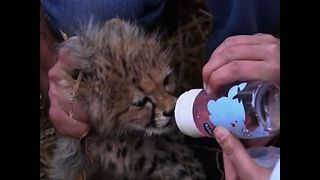 Cute Endangered Cubs Seized - Video
