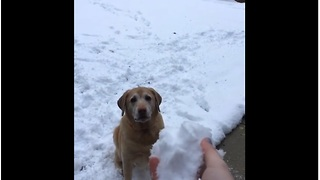 When This Dog Loses His Snowball In The Snow He Goes Completely Bonkers