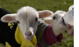 You Can't Handle These Tiny Lambs in Knitted Jumpers - Video