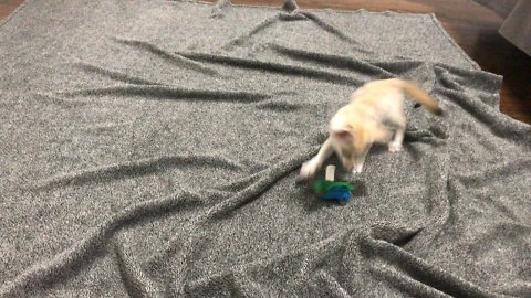 Baby Fennec Fox Frantically Plays With A Cat Toy