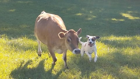 Rescue cow and dog become immediate best friends
