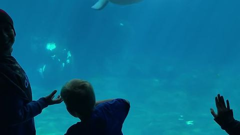 Curious Beluga Whale Scares Kid, Causing Him To Fall Over