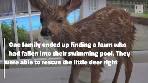 Fawn Scared & Trembling After Falling into Pool. Rescued by Family Before Reuniting with Mother