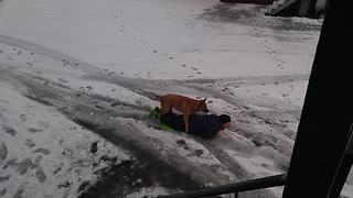 Dog jumps on top of owner for sledding fun  - Video