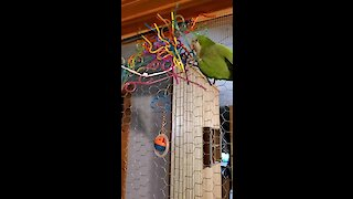 This parrot uses crazy straws to build an indoor nest