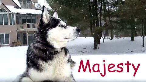 Siberian Husky takes in winter scenery
