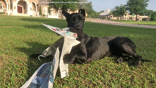 Great Dane's first attempt at fetching newspaper ends in disaster