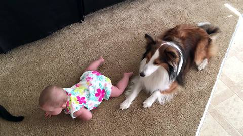 Loving dogs teach baby how to crawl