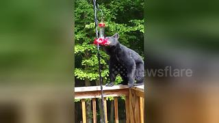 Thirsty bear cubs drink from hummingbird feeder in garden - Video