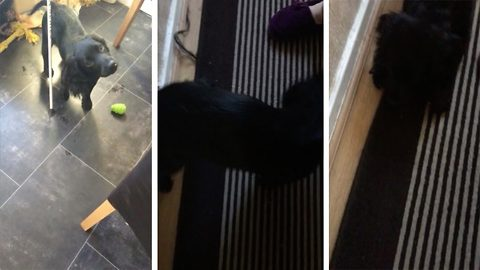 """I thought the dog's tail had fell off!"" Hilarious moment mum thinks pet dogs tail has fallen off after finding chewed up carpet"