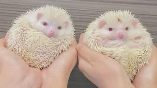 Adorable albino hedgehog enjoys tummy rub  - Video