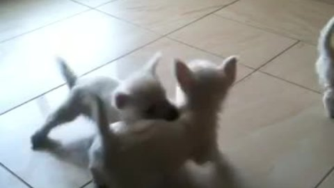 Trio of Westie puppies share adorable playtime