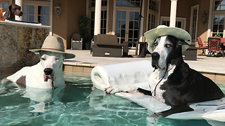 Hat-wearing Great Danes relax in the pool