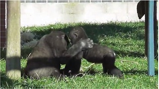 Gorilla Youngster Preciously Plays With Baby Brother - Video