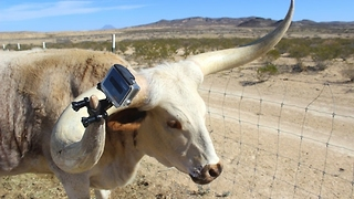 Farmer Attaches GoPro to Longhorn Bull - Video